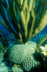 Brain Coral with Black Sea Rods