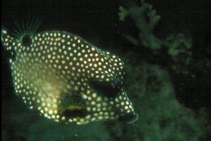 Spotted Trunk Fish