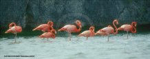 Photograph of Pink Flamingos